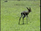 Newborn Thomson's gazelle tries to stand but falls over