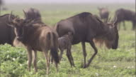 A newborn wildebeest calf tries to keep up with its mother. Available in HD.