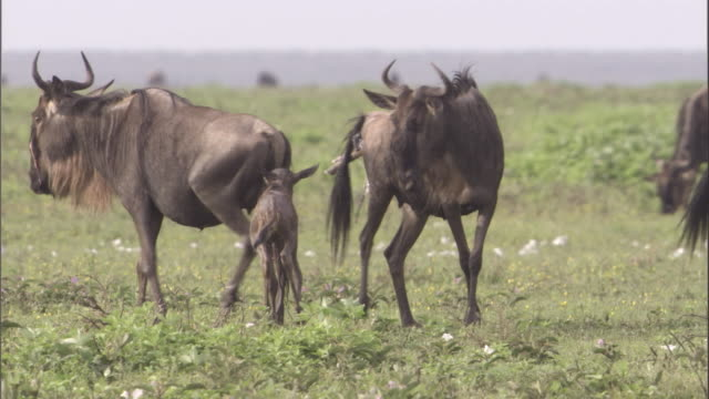 New-born wildebeest suckles from mother. Available in HD.