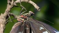 Newly emerged Morpho butterfly body