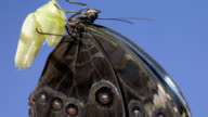 T/L newly emerged Morpho butterfly hanging on chrysalis shell