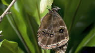 T/L newly emerged Morpho butterfly stretching and drying wings
