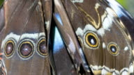 Newly emerged Morpho butterfly wings with eye spots