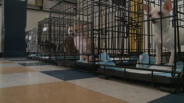 Newly rescued small breed dogs in cages at PAWS animal shelter in Chicago on April 13 2015 More than 80 animals were rescued from a puppy mill in...