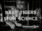 BABY TIGERS STUN SCIENCE / Two female tigers in captivity in a zoo give birth to cubs within an hour of each other in Congers New York in 1940 / The...