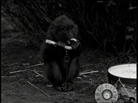 Newsreel / No audio / Various monkeys celebrate christmas with a tree ornaments and presents / Tree decorated with Christmas ornaments for monkeys in...