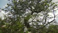 Newton's famous apple tree