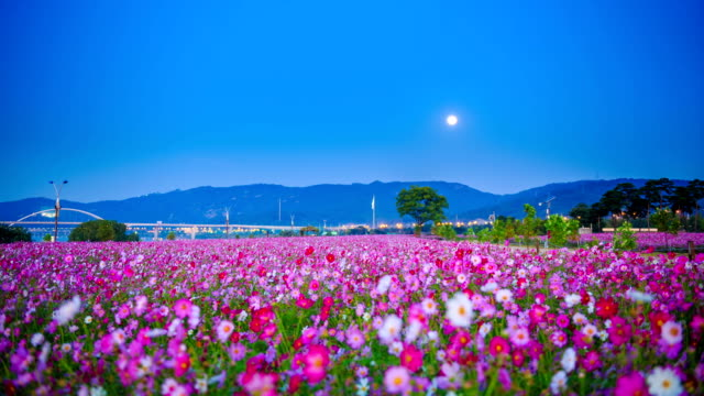 Night scenery of cosmos flower bed at Hangang Park and the moon
