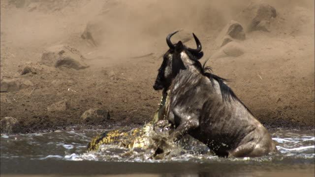 Nile crocodile attacks wildebeest, Grumeti, Tanzania.