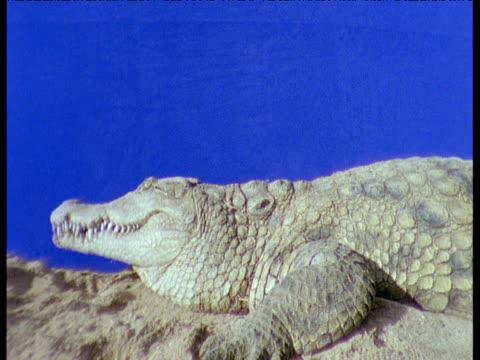 Nile crocodile basks on bank against blue background, then leaves bank