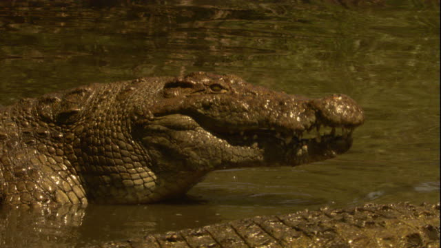 A Nile crocodile closes its massive jaws. Available in HD.