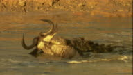 A Nile crocodile drowns a wildebeest. Available in HD.