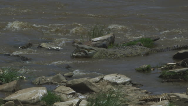 SLOMO MS Nile crocodile eats body of monitor lizard
