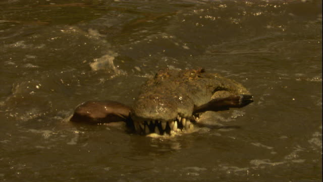 A Nile crocodile feeds on a wildebeest in a river in Tanzania. Available in HD.