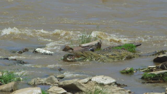 SLOMO MS Nile crocodile grabs monitor lizard and starts eating