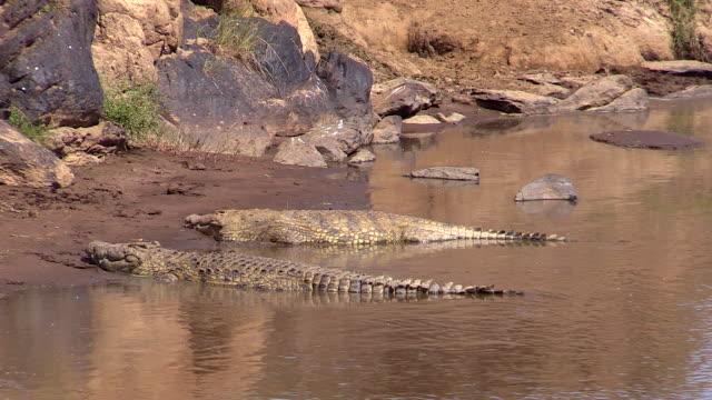 Nile Crocodile hauled out on bank of Mara River, Kenya