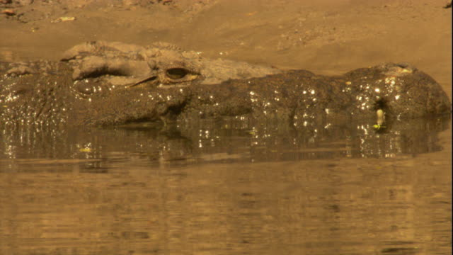 A Nile crocodile hauls itself out of a river in Tanzania. Available in HD.