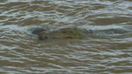SLOMO CU Nile crocodile in river with Wildebeest carcase in its jaws