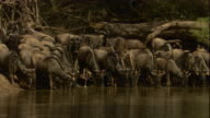 A Nile crocodile lunges at a herd of wildebeest on a riverbank in Tanzania. Available in HD.