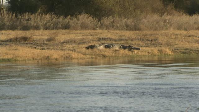 WS, TD, Nile Crocodile (Crocodylus niloticus) on riverbank, Okavango Delta, Botswana