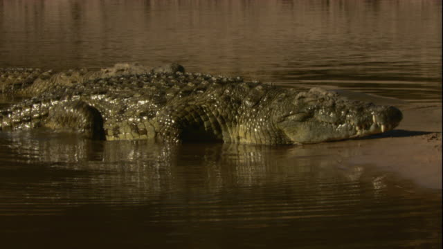 A Nile crocodile slowly crawls out of a river and onto a sand bar to bask in the sun. Available in HD.