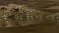 A Nile crocodile slowly swims to a riverbank and rests its head on the sand. Available in HD.