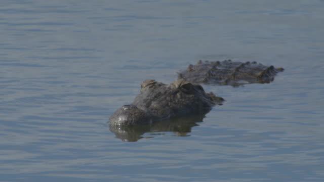 Nile Crocodile South Africa
