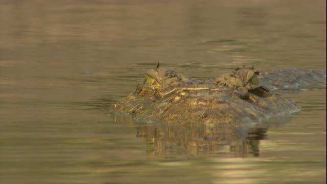 A Nile crocodile submerges its head underwater. Available in HD.