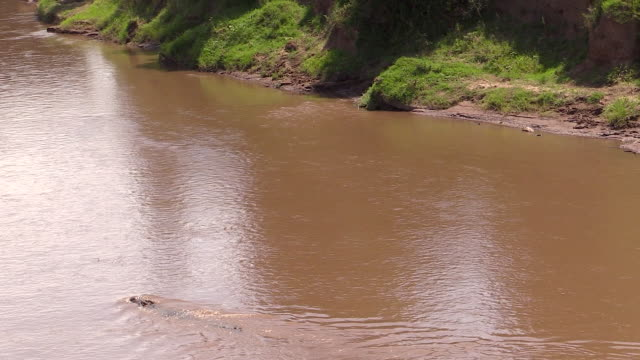 Nile Crocodile swimming upstream, Mara River, Kenya