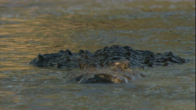 A Nile crocodile swims in a waterhole. Available in HD.