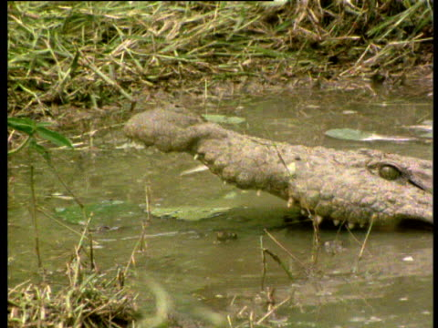 Nile crocodile with babies in mouth, sways head and submerges to wash babies out, Africa.
