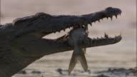 Nile crocodile (Crocodylus niloticus) with catfish in jaws, Luangwa, Zambia