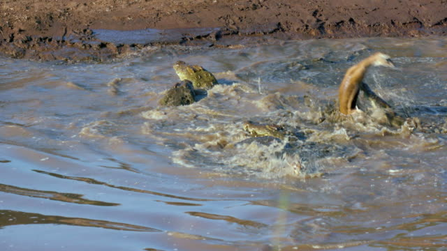 Nile Crocodiles Attack Thomson'S Gazelles In Mara River Maasai Mara  Kenya  Africa
