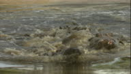 Nile crocodiles chase each other in a waterhole. Available in HD.