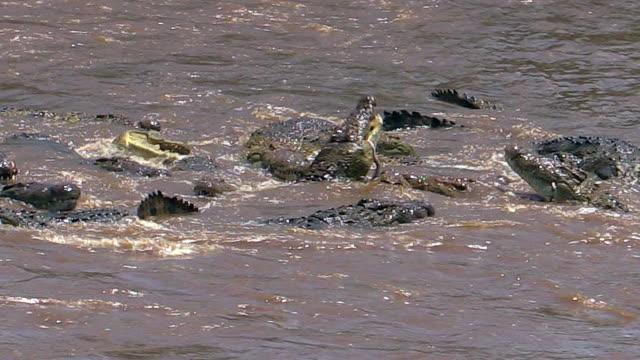 Nile Crocodiles eating drowned zebra in Mara River