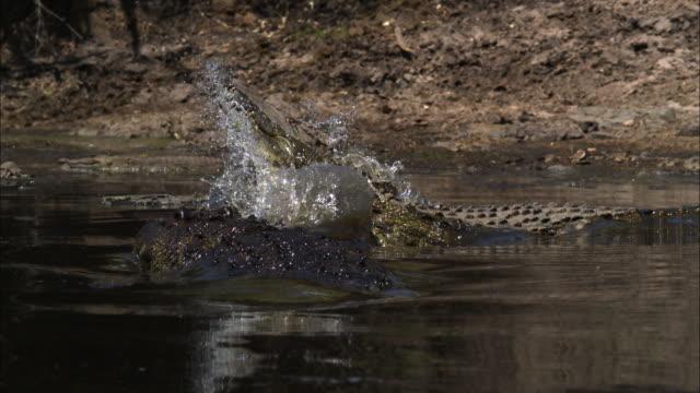 Nile crocodiles fighting, Grumeti, Tanzania.