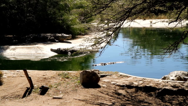 LS Nile Crocodiles On The Shore