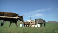 MS Nomad men pulling yaks attached to cart load through yurt / Central-south Mongolia, Mongolia
