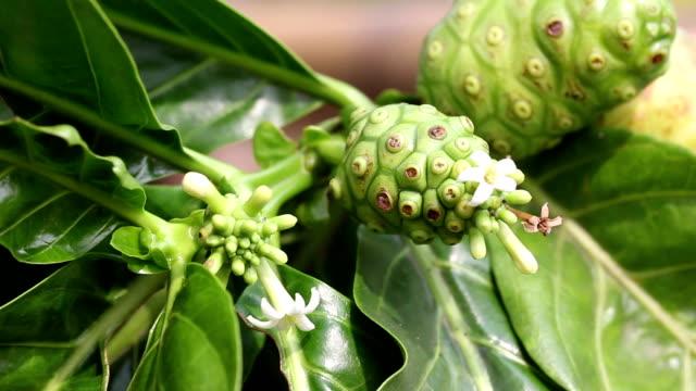 Noni-Frucht