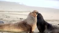Northern elephant seals fighting