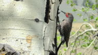 Northern Flicker making nest hole in aspen, Spring in Yellowstone National Park, Wyoming
