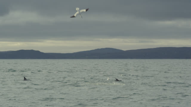 Northern gannets (Morus bassanus) plunge dive into Irish sea, Ireland