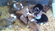 Now this will melt your heart Watch as a Corgi puppy litter teams up against a helpless cardboard box How precious is that