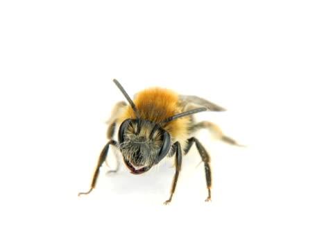 NTSC:Bee