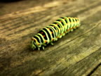 NTSC:Swallowtail caterpillar isolated on white.