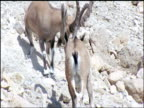 Nubian ibex (Capra nubiana) males rut on mountainside, Israel