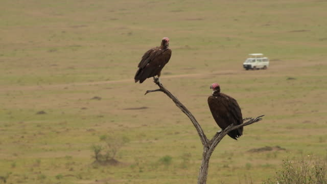 Nubian Vulture (Torgos tracheliotos) on a dry tree above open savannah