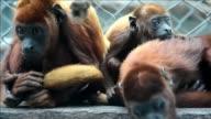 Nueve ejemplares de monos rojos aulladores fueron devueltos a su habitat natural en una zona boscosa del noroeste de Colombia como parte de un...