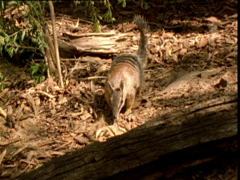 Numbat forages in forest, then licks up termites from rotting log, New South Wales, Australia