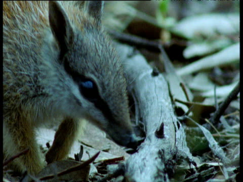 Numbat sniffs at log looking for ants, New South Wales